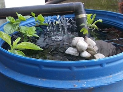 setting up the aquaponic system and planting mint