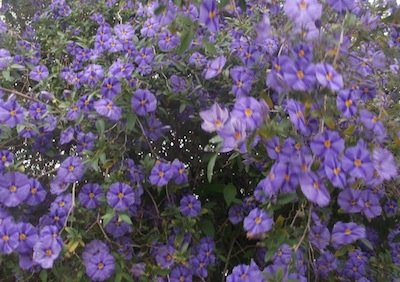 Lycianthes rentonnetii, the spectacular blue potato bush