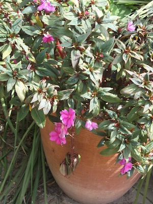 This bizzi lizzy bush is many times the size of the pot and covered with flower buds