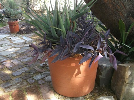 The second plant pot with aloe and wandering jew