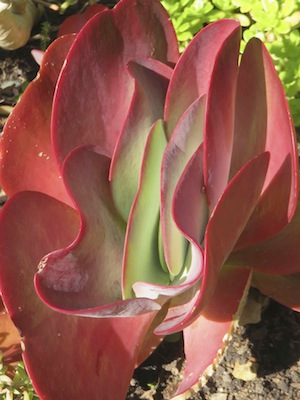Not thirsty thank you: don't over water drought tolerant plants