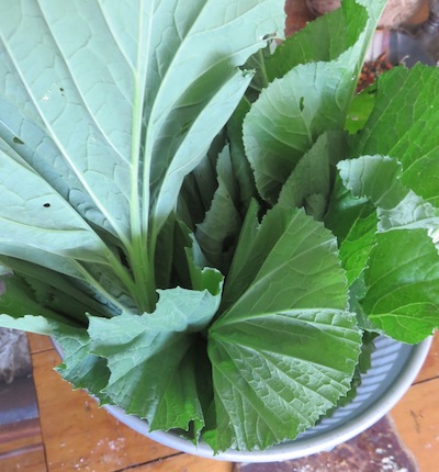 beautiful refreshed cabbage for feeding the humans