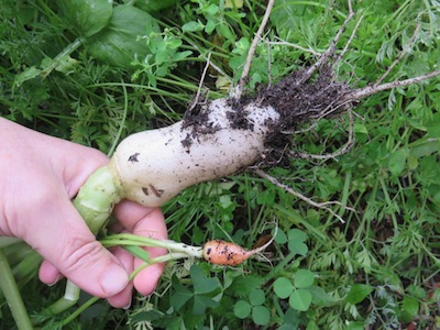 a carrot and white icicle radish sown at the same time, at ten weeks