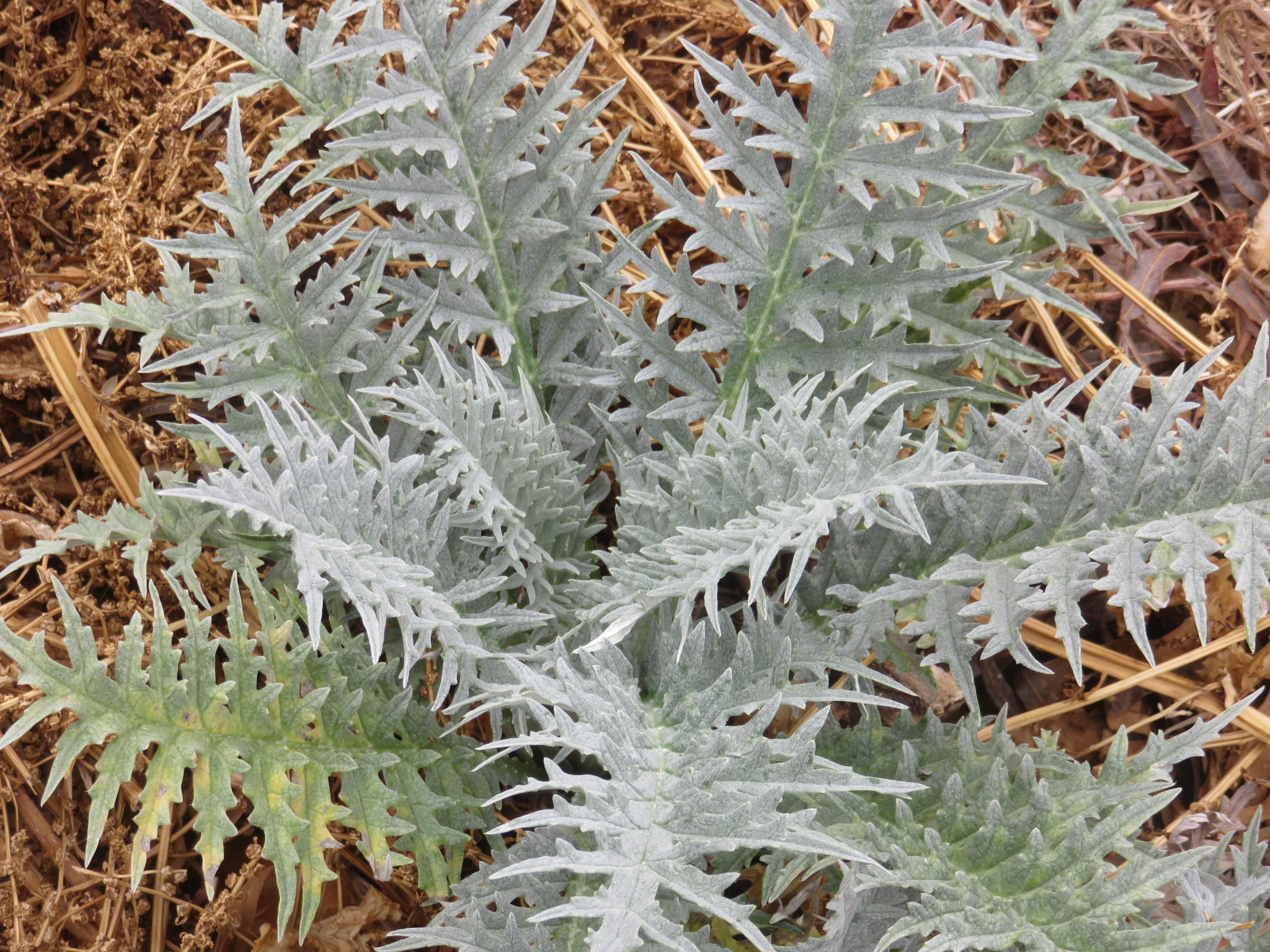 large sculptural leaves like artichoke can be interspersed with tall grassy herbs as seen in the plan below
