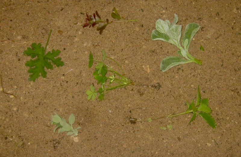 Salvia, Tetragonia decumbens, Rhus, Oxalis, nettle and Pelargonium. Some are vegetables and others flavorants.