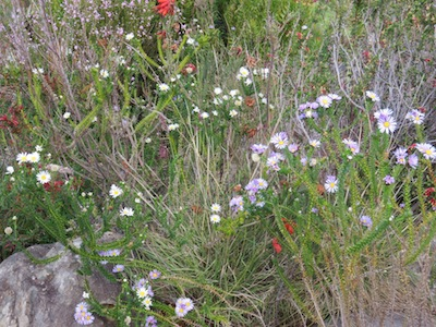 There is always a preponderance of brown in the Fynbos