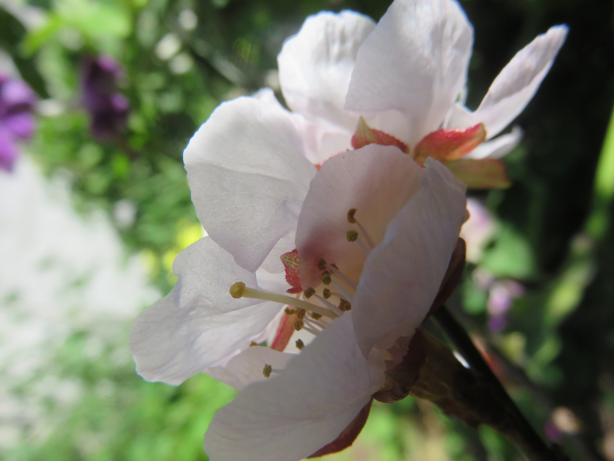 The first blossoms of a new apricot tree