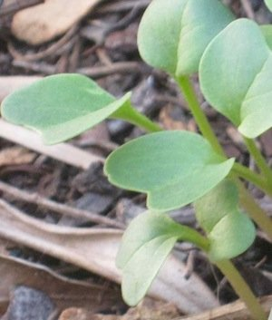 Emerging radish seedlings have the typical Brassica form