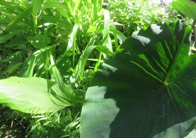 Taro, maize, tumeric and mint growing in waste water