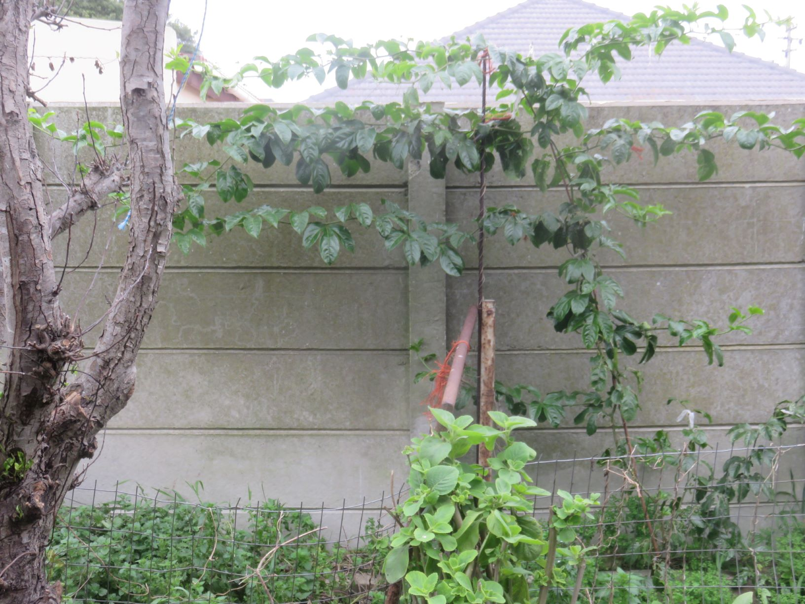 Nearly a year later, the vine gnawed to the brink of life is thriving