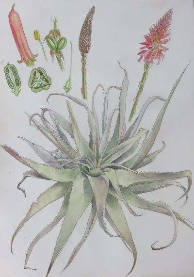 Aloe watercolor painting, available as prints here