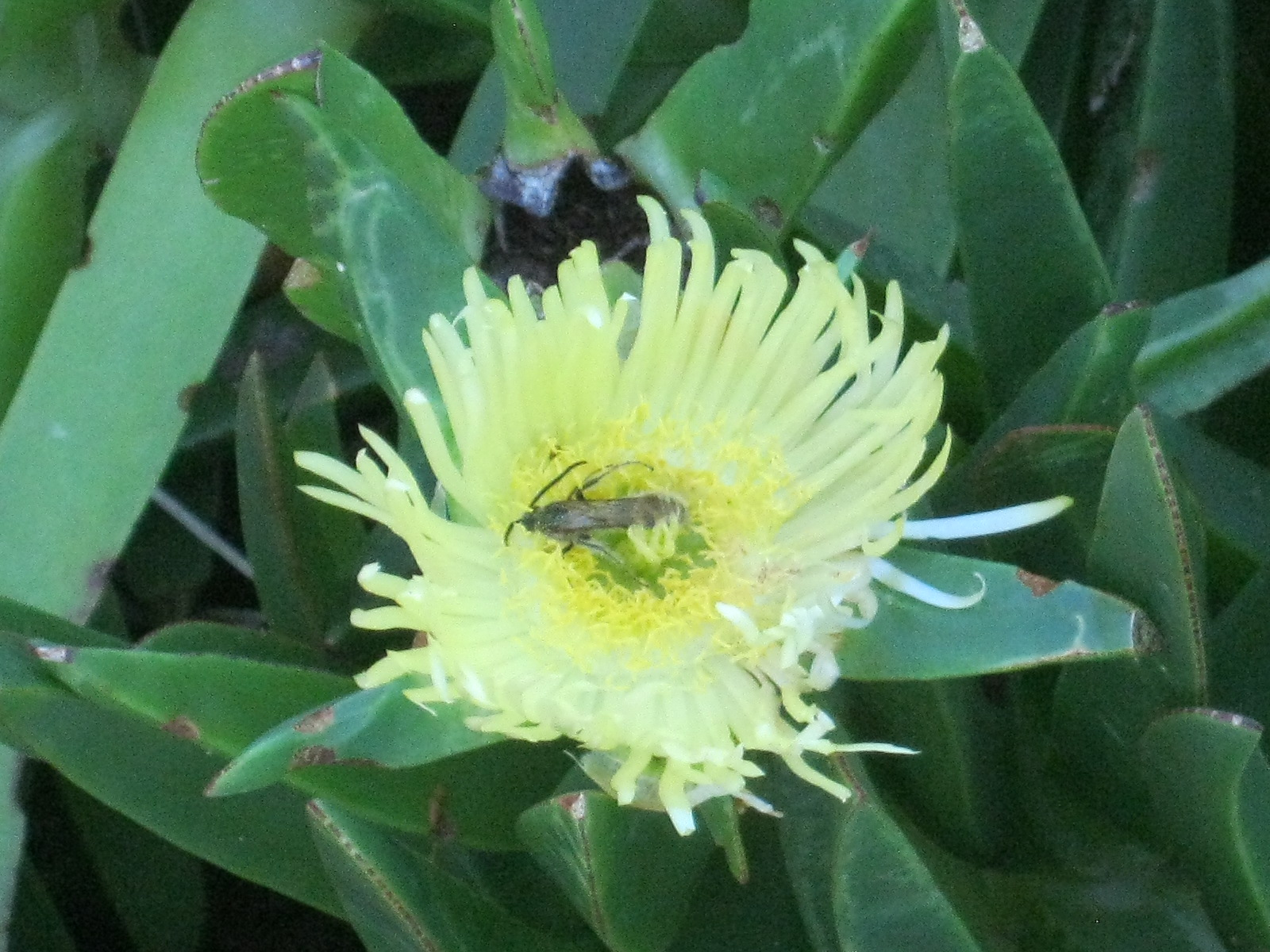 Carpobrotus edulis attracts native beetles which help with pollination