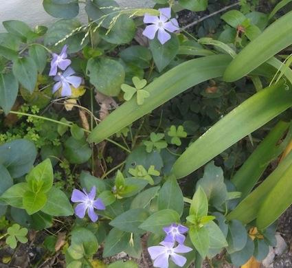 The ubiquitous perennial vinca