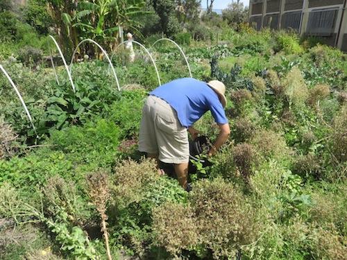 Phillipa amongst the lettuce seed, harvesting