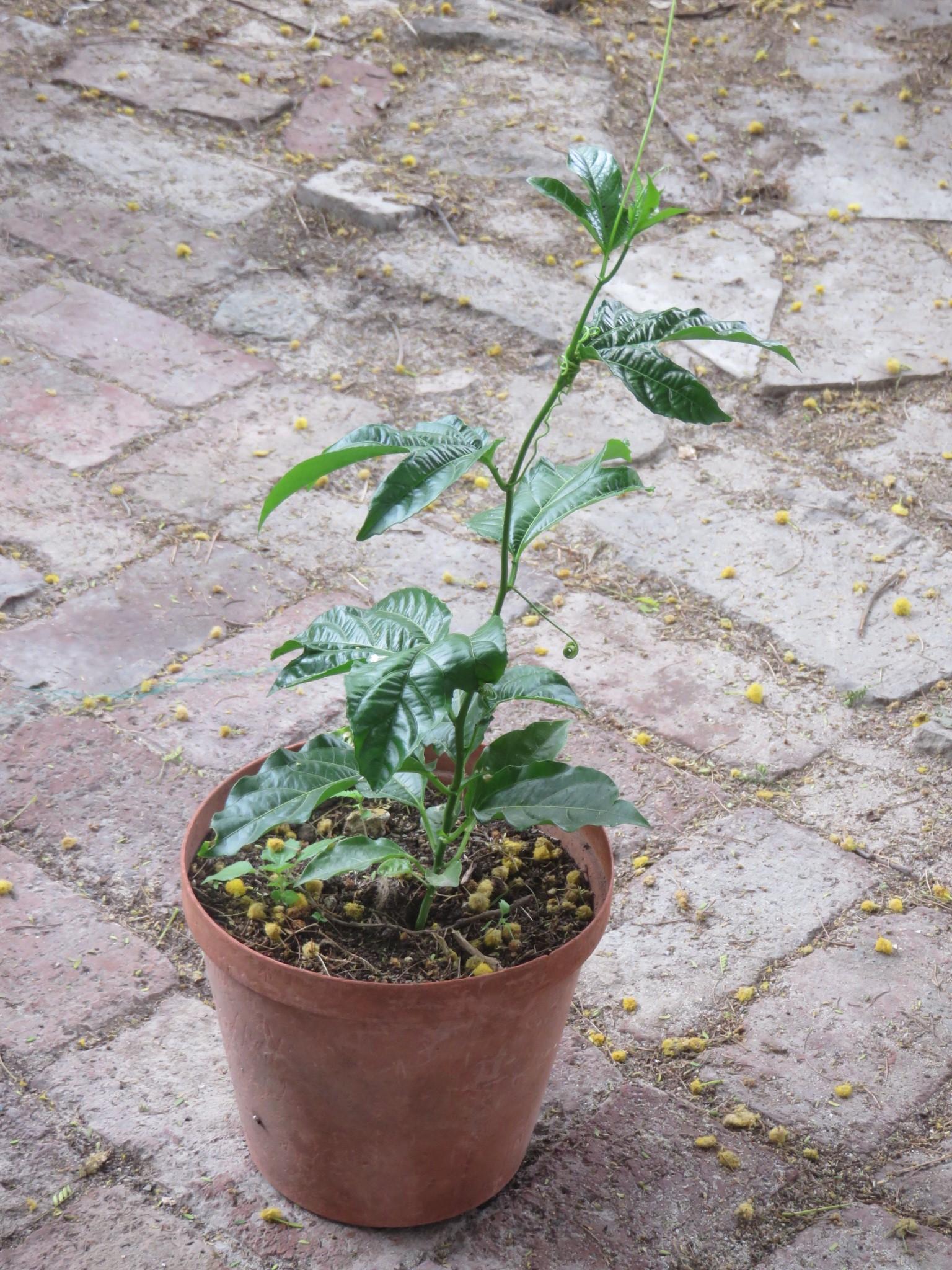 A vine ready to plant