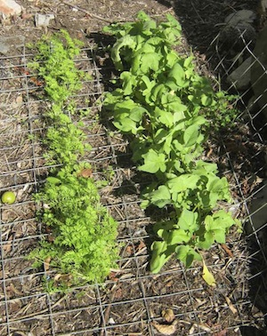 growing radishes and carrots together for companionship